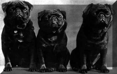 Pugs wallpaper titled