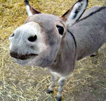 A Donkey - Donkeys Photo (533575) - Fanpop