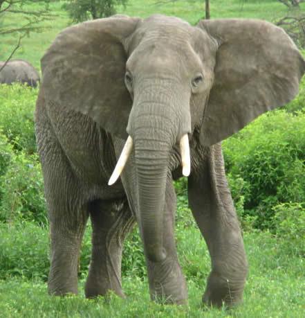 Adult elefante