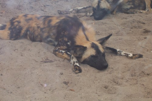 African dog at bronx zoo