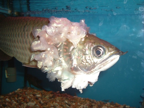 Arowana - sea-life Photo