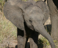 Baby Elephant - elephants photo