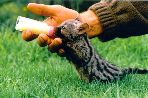 Unusual animals baby genet