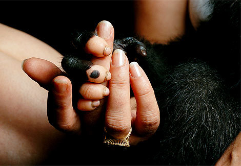 Baby Gorilla Clutches Human
