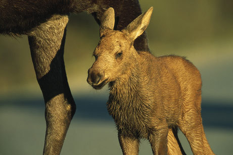 Baby Moooose