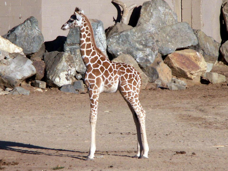 The Animal Kingdom images Baby giraffe HD wallpaper and ...