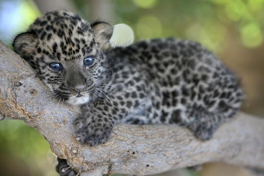 Baby-leopard-the-animal-kingdom-213003_5