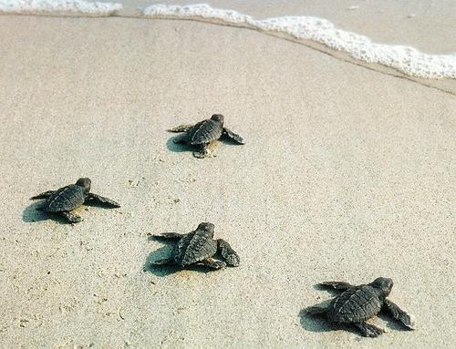 Sea Life wallpaper entitled Baby sea Turtles