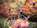 Banded Boxer Shrimp - sea-life photo