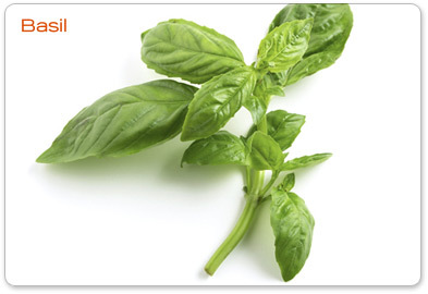 Basil - herbs Photo