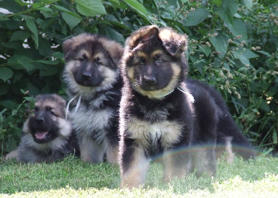 German Shepherds Images Black Tan Puppies Wallpaper And Background
