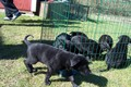 Black Alsatian Litter