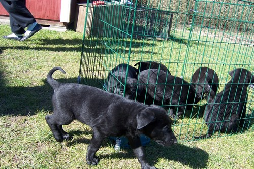 Black Alsation Pups
