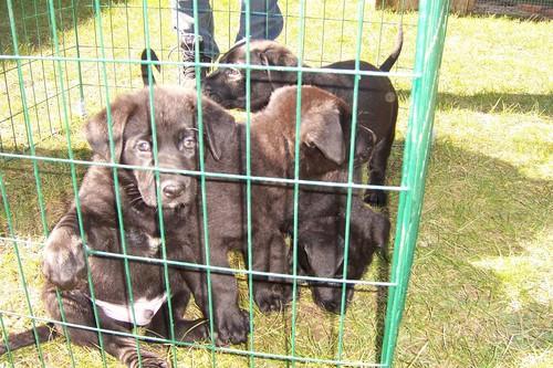 Black Alsation Pups