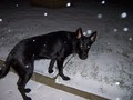 Black Alsation in Snow