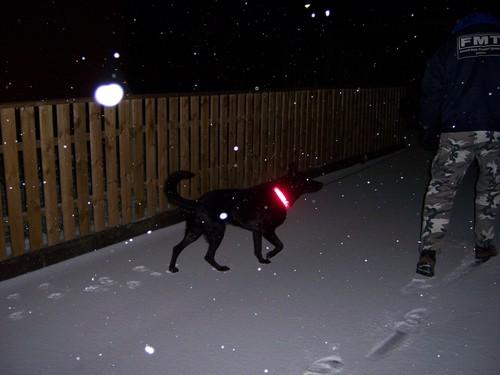 Black Alsation in Snow