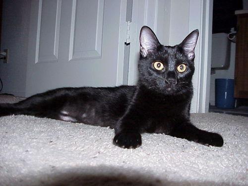 Black gatos