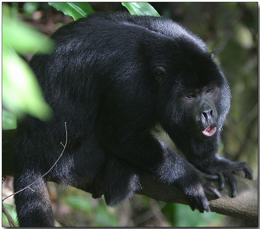 black monkey The latest tweets from black monkey (@black_monkey7) dublin.