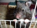 Black urso criceto, hamster