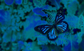 Blue तितली