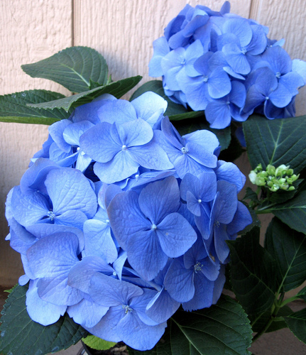 Blue Hydrangea - flowers Photo