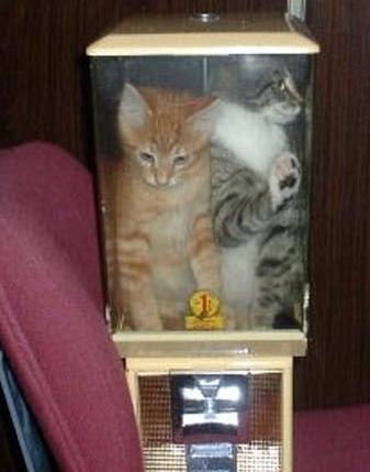 Bubblegum Machine gatos