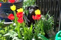 Buffy The Tulip Slayer - dogs photo