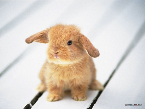 Bunny Wallpapers