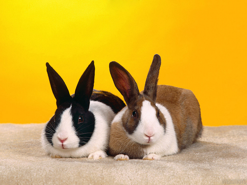 Bunny Rabbits wallpaper called Bunny Wallpapers