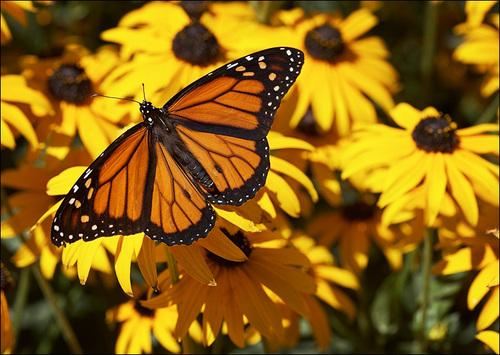 तितलियों