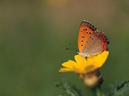 con bướm, bướm hình nền