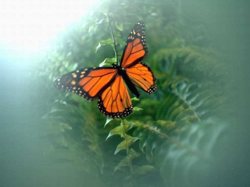 butterfly wallpaper. Butterfly Wallpaper