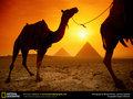Camels and Pyramids Wallpaper - egypt wallpaper