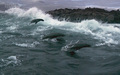 Cape Fur Seals - planet-earth wallpaper