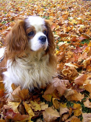 Cavalier King Charles épagneul