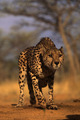 Cheetah - cheetah photo