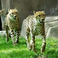 Cheetahs - cheetah photo