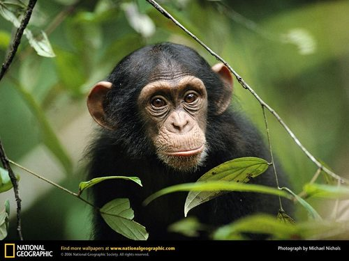 Chimp Peaking Through Leaves
