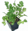 Cilantro / Coriander - herbs photo