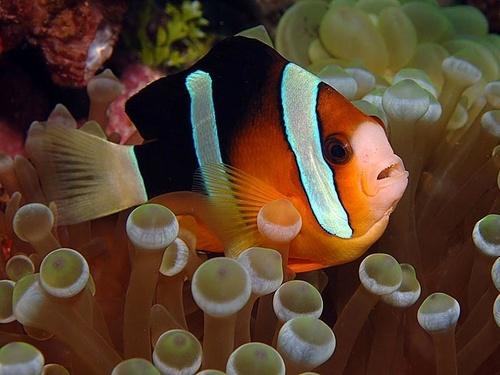 Sea Life 壁紙 called Clark's Anemonefish