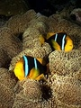 Clark's Anemonefish - sea-life photo
