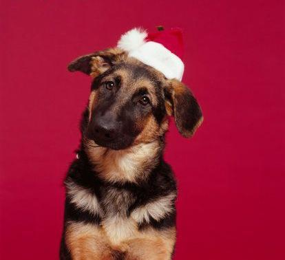 Christmas images Confused German Shepherd wallpaper and ...