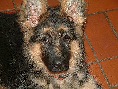 Cute GSD Pup