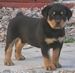 Cute Rottwelier Puppy - rottweiler icon