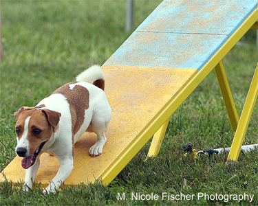 Cute dog doing agility