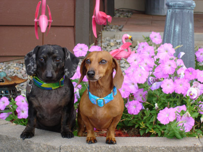 Darling Dachshunds