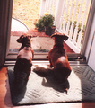 Darling Dachshunds - dachshunds photo