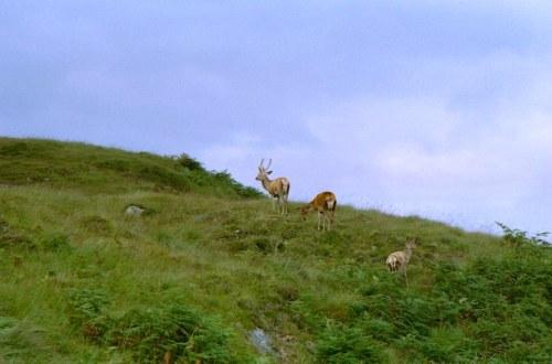Deer on the Isle Of Jura