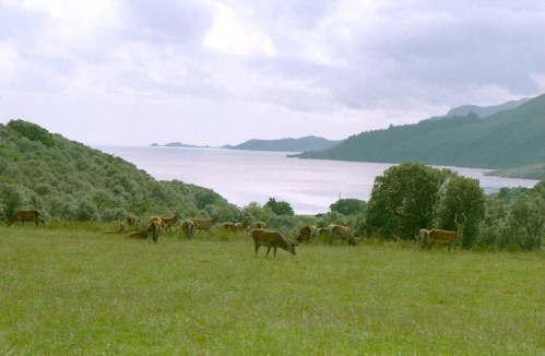 Deer on the Isle Of Jura