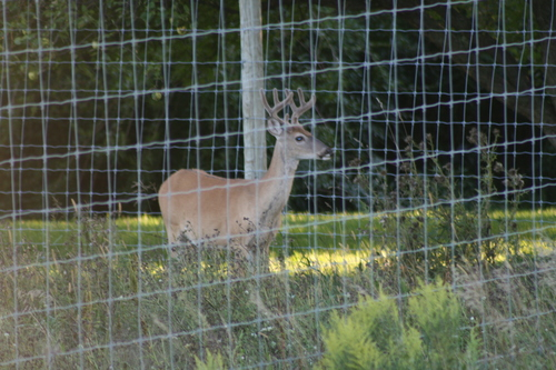 Deer with Velvet